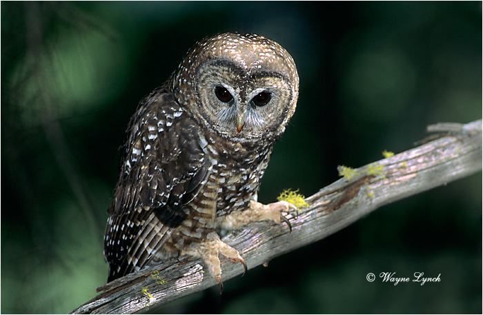 Northern Spotted Owl 115  by Dr. Wayne Lynch ©