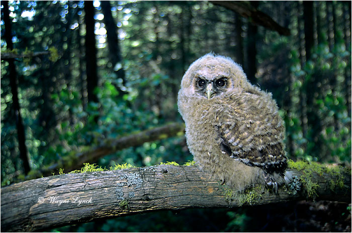 Northern Spotted Owl Chick 115 by Dr. Wayne Lynch ©