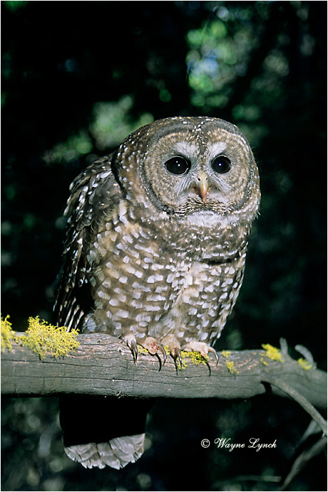 Northern Spotted Owl 104  by Dr. Wayne Lynch ©
