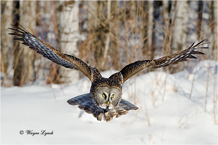 Hunting Great Gray Owl 138 by Dr. Wayne Lynch ©