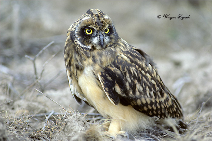 Short-eared Owl 112 by Dr. Wayne Lynch ©