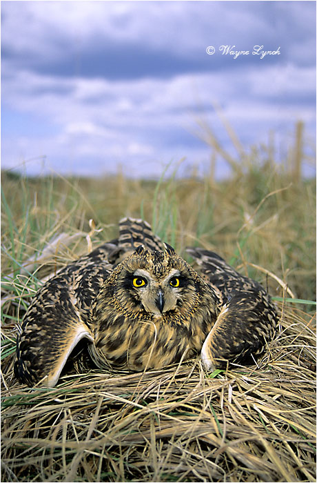 Short-eared Owl 102 by Dr. Wayne Lynch ©