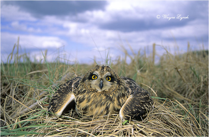 Short-eared Owl 104 by Dr. Wayne Lynch ©