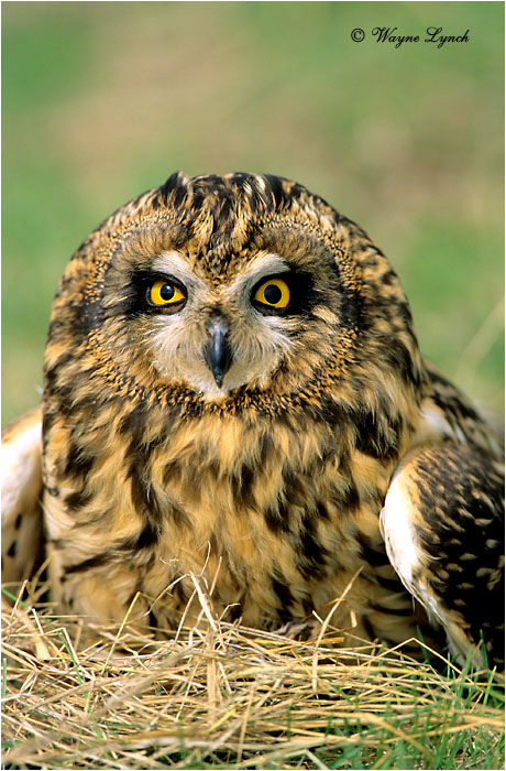 Short Eared Owl 108 by Wayne Lynch ©