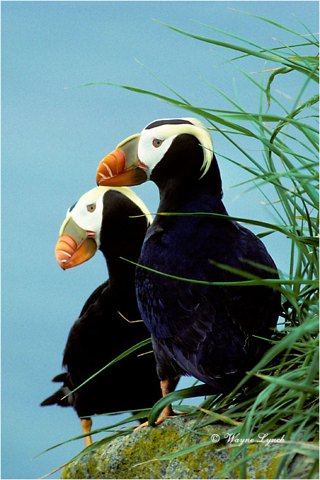 Tufted Puffin  by Dr. Wayne Lynch ©