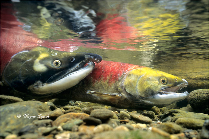 Sockeye Salmon  by Dr. Wayne Lynch ©