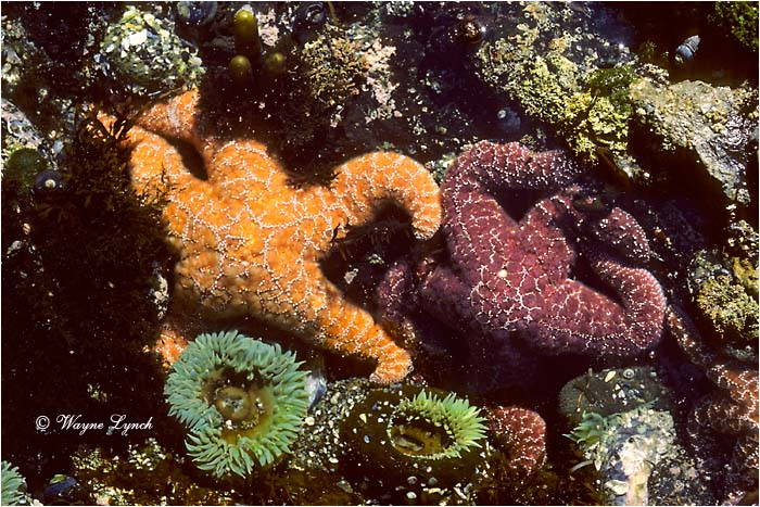 Sea Star  by Dr. Wayne Lynch ©