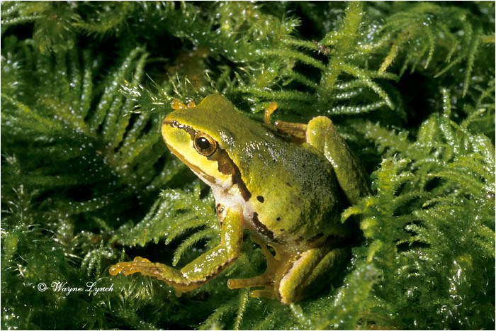 Pacific Treefrog  by Dr. Wayne Lynch ©