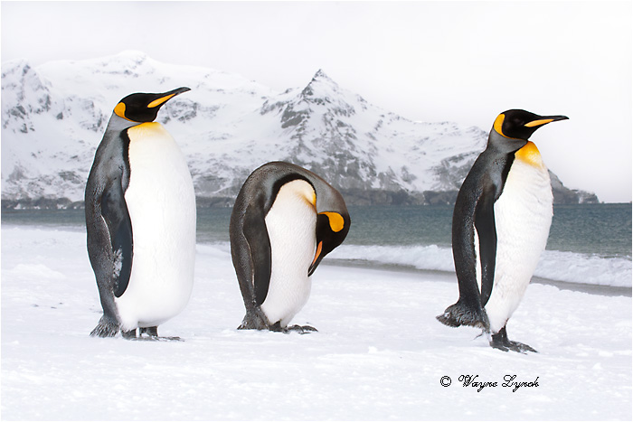 King Penguins 124  by Dr. Wayne Lynch ©