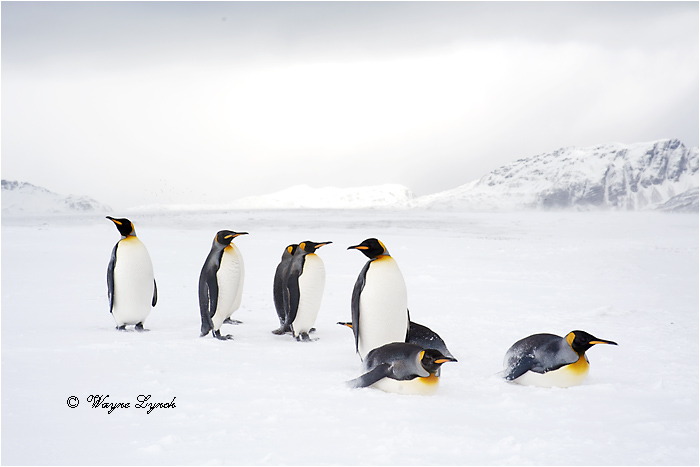 King Penguins 123  by Dr. Wayne Lynch ©