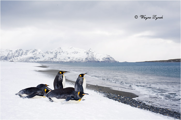King Penguins 122 by Dr. Wayne Lynch ©