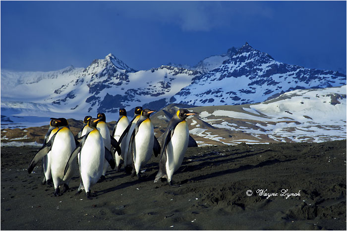 King Penguins 132 by Dr. Wayne Lynch ©