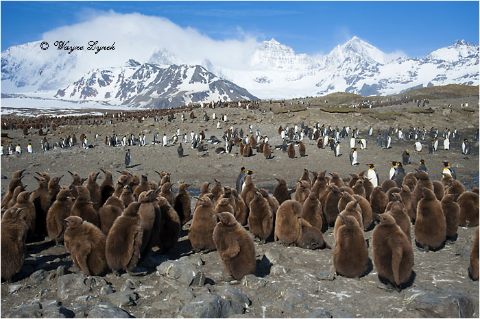 King Penguin Chick Creche 136 by Dr. Wayne Lynch ©
