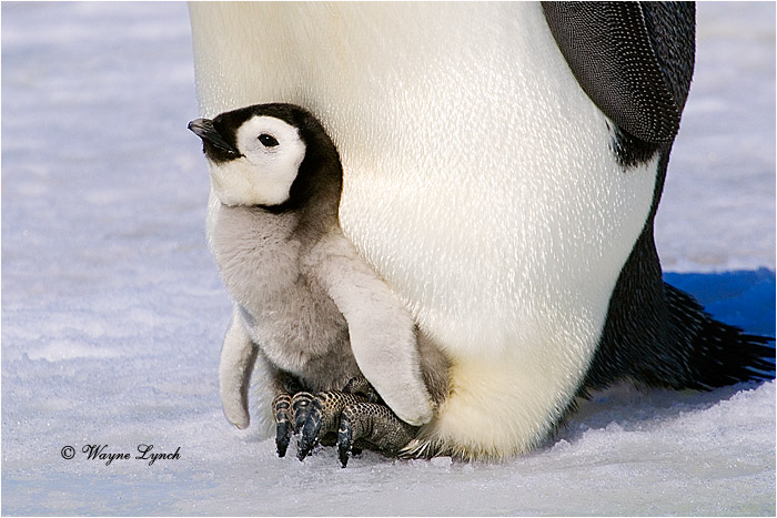 Emperor Penguin Chick 126 by Dr. Wayne Lynch ©