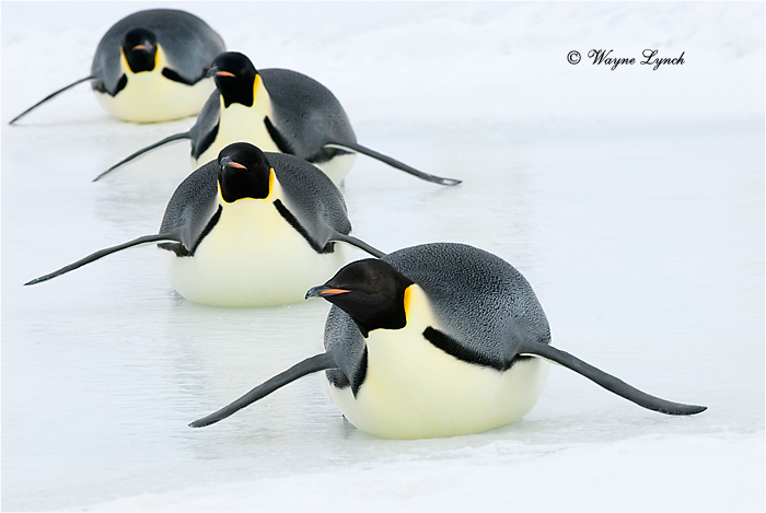 Emperor Penguin 133 by Dr. Wayne Lynch ©