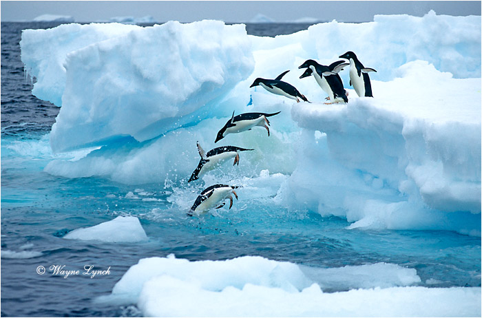 Adelie Penguin 101 by Dr. Wayne Lynch ©