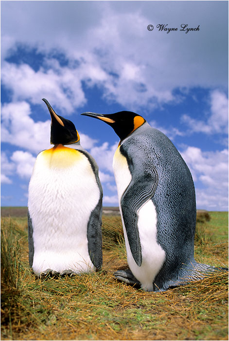 King Penguin 105 by Dr. Wayne Lynch ©