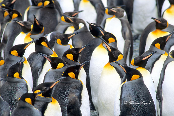 King Penguin 107 by Dr. Wayne Lynch ©