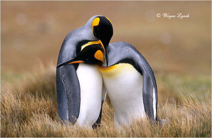 King Penguin 110 by Dr. Wayne Lynch ©
