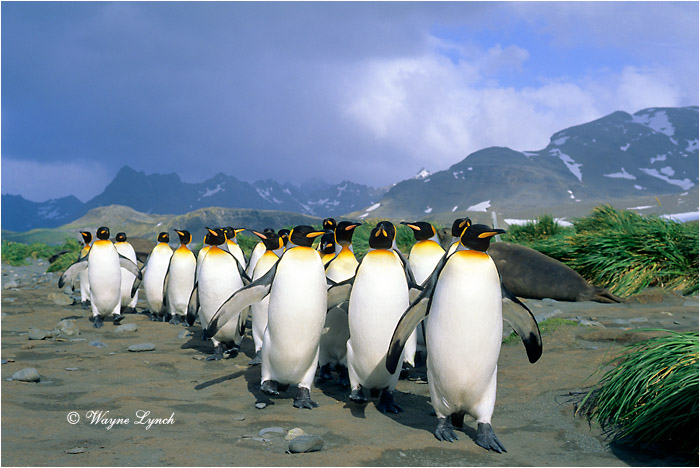 King Penguin 112 by Dr. Wayne Lynch ©