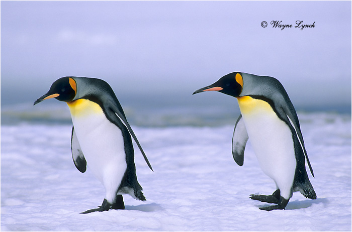 King Penguin 113 by Dr. Wayne Lynch ©