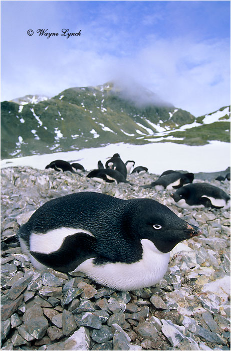 Adelie Penguin 103 by Dr. Wayne Lynch ©