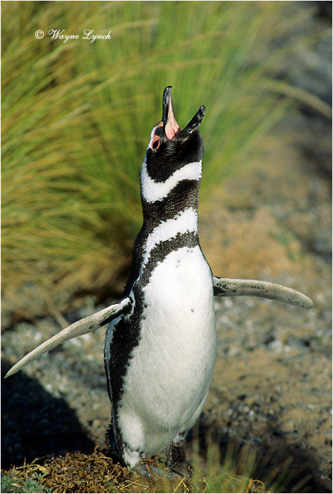 Megellanic Penguin 101 by Dr. Wayne Lynch ©