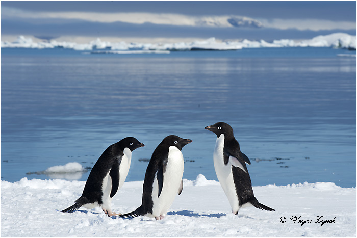 Adelie Penguin 121 by Dr. Wayne Lynch ©