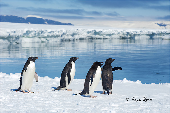 Adelie Penguins 122 by Dr. Wayne Lynch ©