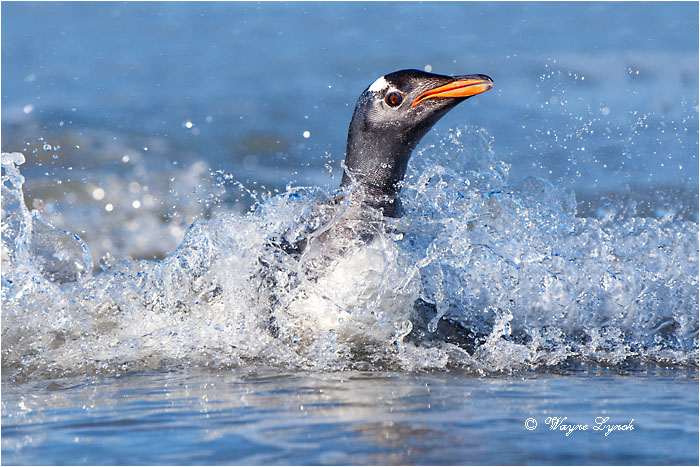 Gentoo Penguin 125 by Dr. Wayne Lynch ©