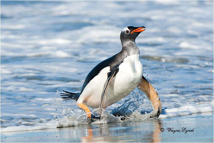 Gentoo Penguin 124 by Dr. Wayne Lynch ©