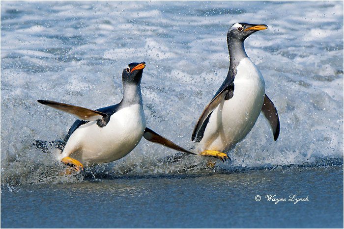 Gentoo Penguins 118 by Dr. Wayne Lynch ©