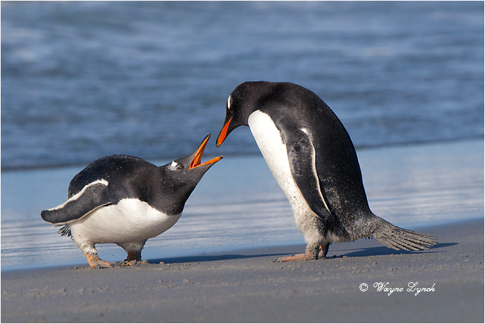 Gentoo Penguins Squabbling 127 by Dr. Wayne Lynch ©