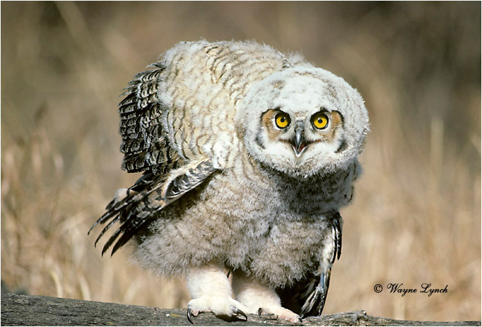 Great Horned Owl 152 by Wayne Lynch ©
