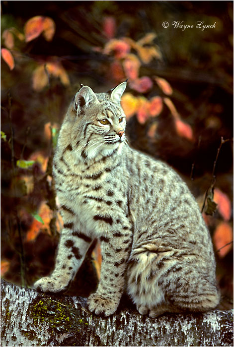 Bobcat 101  by Wayne Lynch ©