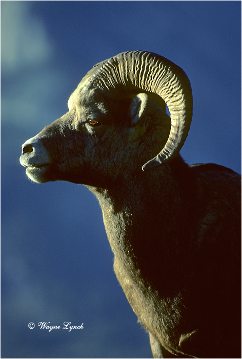Bighorn Sheep 103 by Wayne Lynch ©