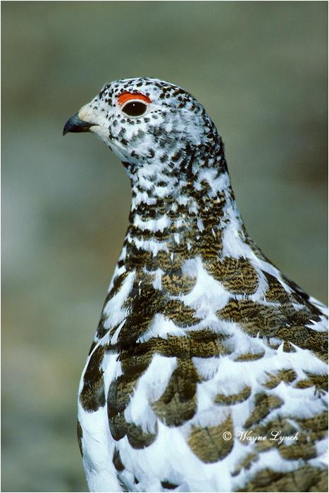 White-tailed Ptarmigan 103 by Wayne Lynch ©