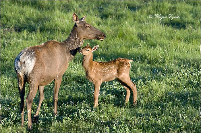 Mother Elk & Calf 103 by Dr. Wayne Lynch ©