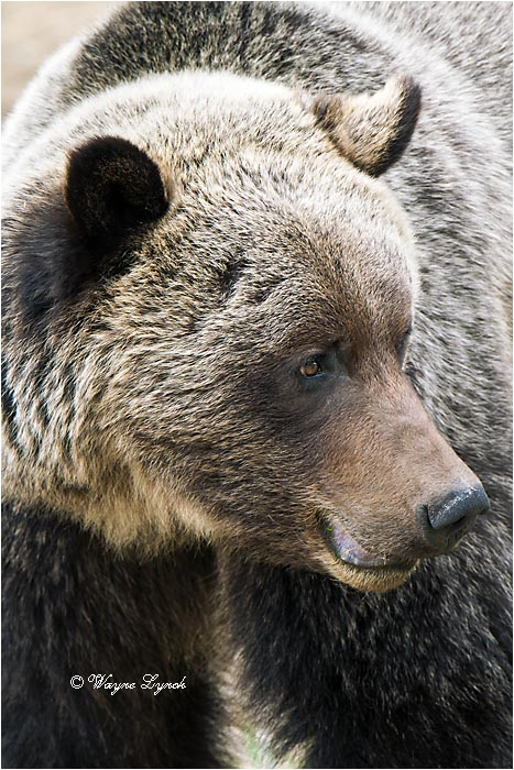 Mountain Grizzly Bear 105 by Dr. Wayne Lynch ©