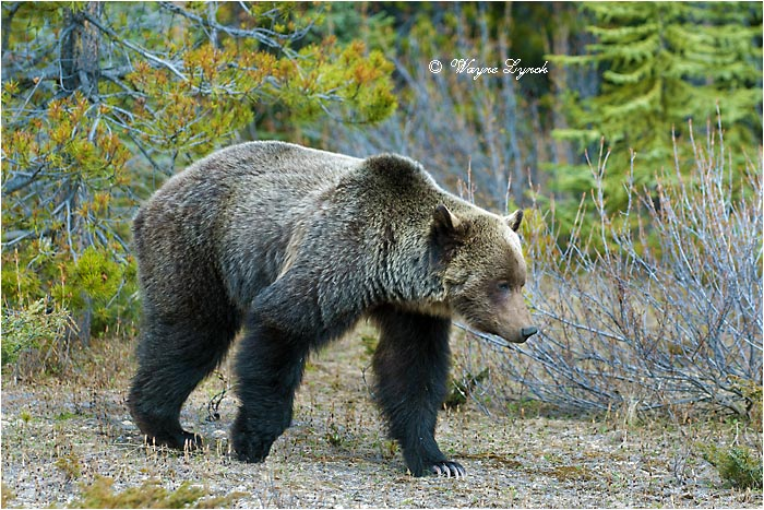 Mountain Grizzly Bear 119 by Dr. Wayne Lynch ©