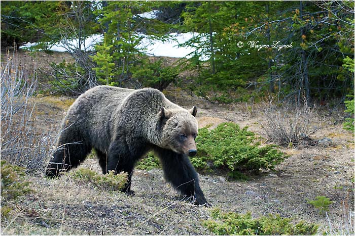 Mountain Grizzly Bear 109 by Dr. Wayne Lynch ©