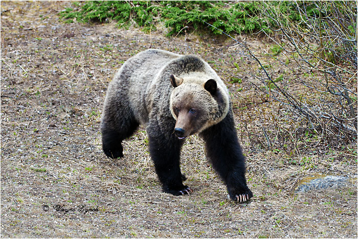 Mountain Grizzly Bear 111 by Dr. Wayne Lynch ©