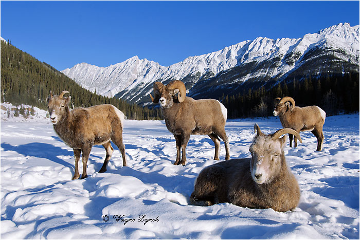 Bighorn Sheep Rams & Ewes 122 by Dr. Wayne Lynch ©