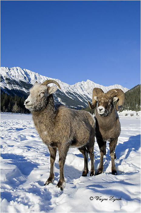 Bighorn Sheep Ram & Ewe Courting 133 by Dr. Wayne Lynch ©