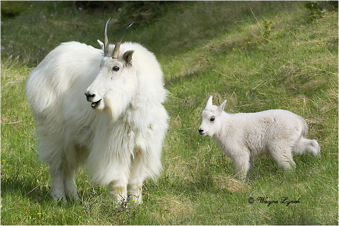 Mountain Goat Mother & Kid 103 by Dr. Wayne Lynch ©