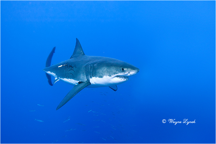 Great White Shark 122 by Dr. Wayne Lynch ©