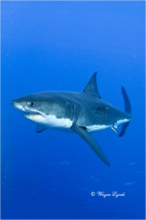 Great White Shark 120 by Dr. Wayne Lynch ©