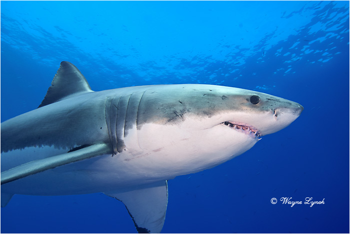 Great White Shark 121 by Dr. Wayne Lynch ©