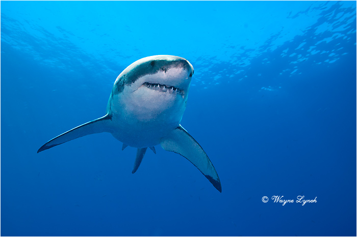 Great White Shark 133 by Dr. Wayne Lynch ©