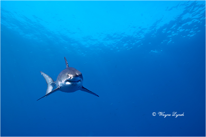 Great White Shark 101 by Dr. Wayne Lynch ©